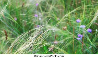 Feather-grass flicker in the wind small violet flowers on...