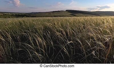 Feather grass in steppe - Beautiful feather grass in steppe...
