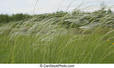 Feather grass in the meadow swinging in the wind. Stipa