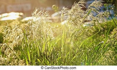 Feather grass moving on wind backlit in slomo - Feather...