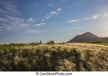 Feather Grass or Needle Grass,