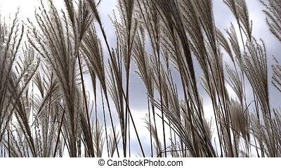 Feather grass steppe closeup - Feather of grass steppe...
