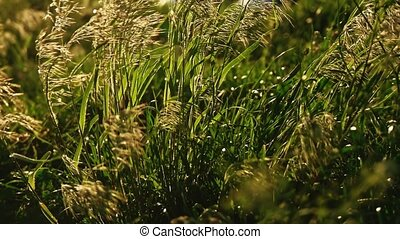 Feather grass sways on wind backlit in slow motion