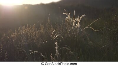 Feather grass waving in the wind slow motion footage