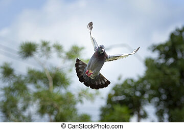feather wing of homing pigeon bird floating mid air