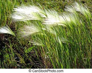 feathergrass, alatt, szeles, időjárás