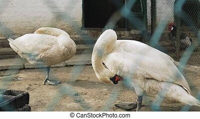 feathers., deux, leur, propre, blanc, cygnes