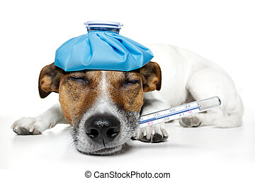 febre, dor, cão, doente