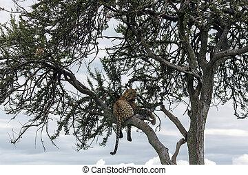 Fed jaguar resting on a tree