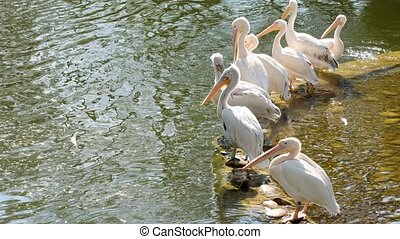 Fed pelican. White pelicans look for food by the water.