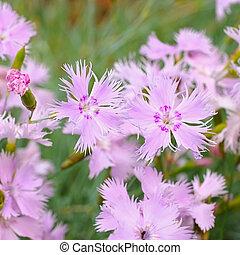 Feder-Nelke, Dianthus plumarius - Dianthus plumarius, pink...