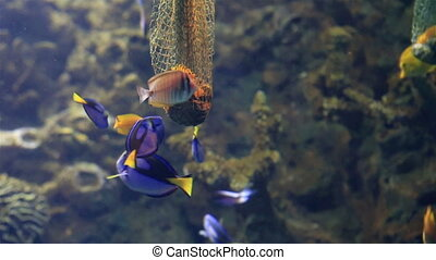 Feeder with delicacy for fish in saltwater aquarium - Feeder...