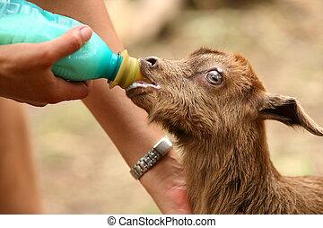 Feeding a baby goat