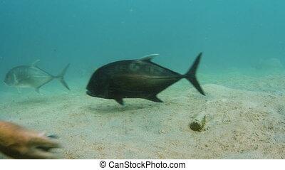 Feeding a big tuna - A shot of a tuna being fed on the ocean...