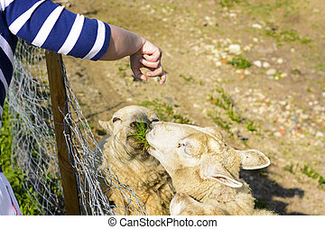 Feeding a sheep from his hand