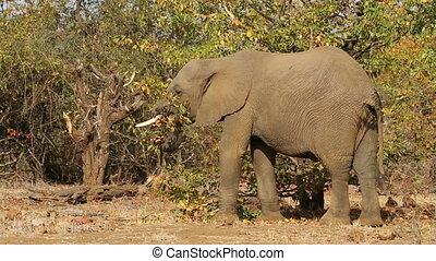 An African elephant (Loxodonta africana) feeding on a tree, Kruger National Park, South Africa