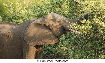 Feeding African elephant