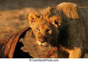 Feeding African lion