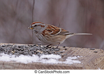 Feeding American Tree Sparrow