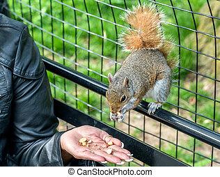 Feeding an Eastern Gray Squirrel in New York City, USA