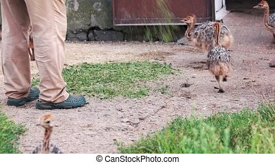 Feeding baby ostriches at farm. Group of baby ostriches eating grass outdoors. Raising ostriches at countryside farm.