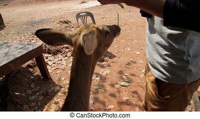 Feeding bambi by hand, tiger temple, bangkok, thailand