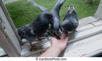 Feeding birds pigeons from hand on summer.