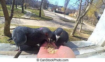 Feeding birds pigeons from hands