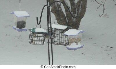 Feeding Blue Jays - Two Blue Jays feeding on suet during a...