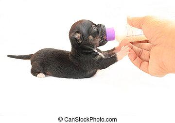 Feeding Chihuahua Puppy