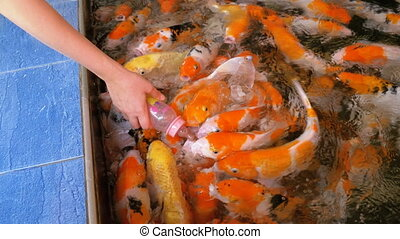 Feeding Colorful Japanese Red Carp from a Bottle with a Pacifier. Thailand
