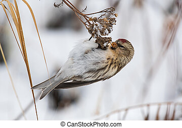 Feeding common redpoll