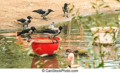 feeding crows