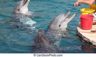 Feeding dolphins - Person feeding a dolphins in Eilat...