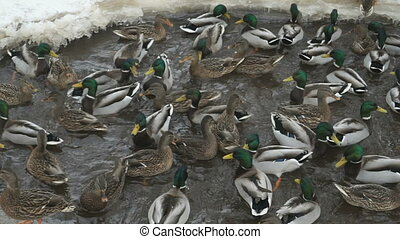 Feeding ducks and drakes in creek in winter