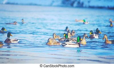 Feeding ducks in the river slowmotion