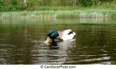 Feeding ducks on the river.