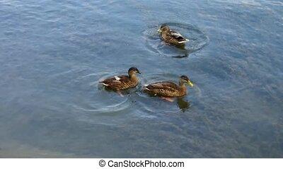 feeding ducks  - feeding the ducks