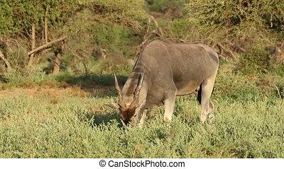 Feeding eland antelope - Feeding male eland antelope...