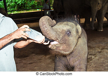 feeding elephant baby with milk
