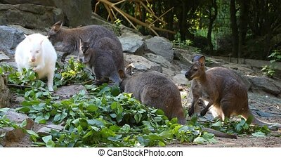 feeding family of cute kangaroo Red necked Wallaby, Female...