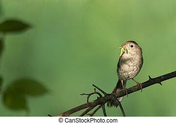 Feeding Field Sparrow