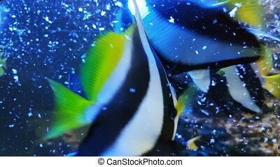 Feeding fish in decorated Marine Aquarium stock footage...