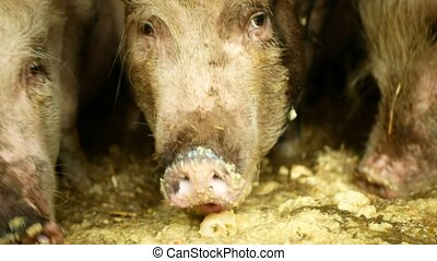 Feeding food pigs sow and of domestic pig Sus scrofa domesticus swine, hog in a cote straw profile pink and black piglets, breeding boar on bio organic farm, traditional farming for quality pork, village countryside life, meat livestock production, ungulate animal omnivore cell, trough of food dirty...