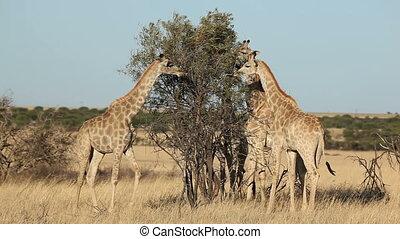 Giraffes (Giraffa camelopardalis) feeding on a tree, South Africa