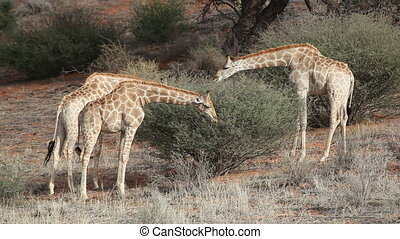 Giraffes (Giraffa camelopardalis) feeding on an Acacia tree, Kalahari desert, South Africa