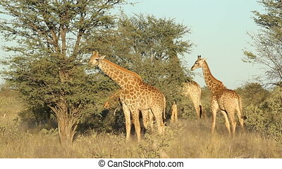 Giraffes (Giraffa camelopardalis) feeding on an Acacia tree, South Africa
