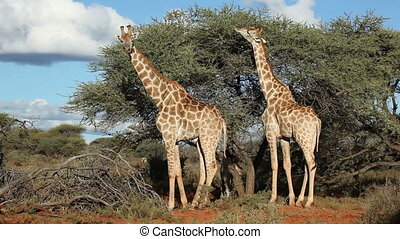 Giraffes (Giraffa camelopardalis) feeding on an Acacia tree, South Africa