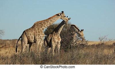 Giraffes (Giraffa camelopardalis) feeding on bushes, South Africa