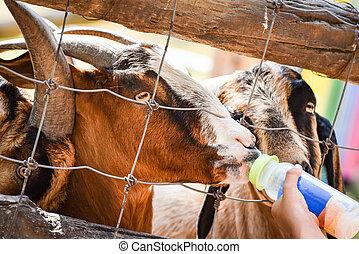 Feeding goat with milk bottle in the farm